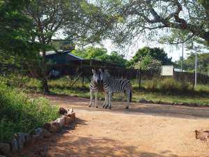 Zebras are spotted just outside the camp.