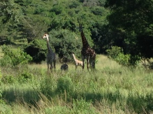 A family of giraffes spotted on our game drive.